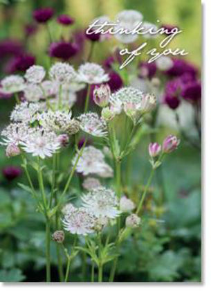 Picture of Astrantia flowers